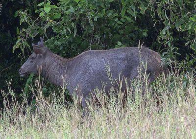 Samba-Deer